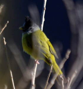 Crested Finchbill