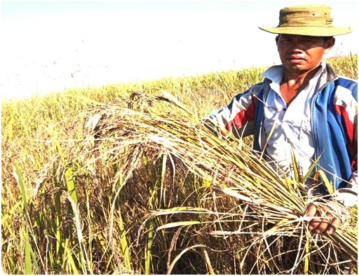 Farmer reap Poireiton Chakhao  (Black Rice) by cultivating at floating Biomass of Loktak Lake