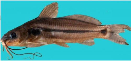 New catfish species found in Northeast