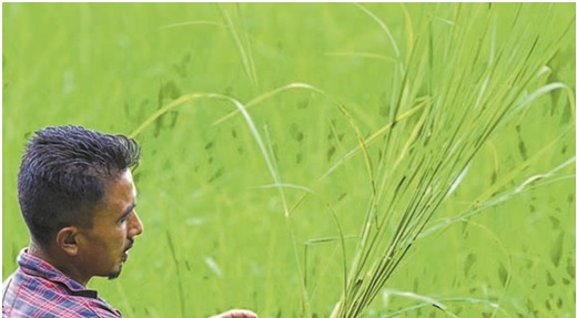 Wainu Chara : An indigenous rice breed :: No negative impact of climate change